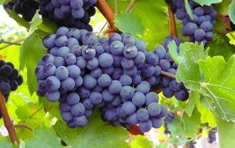 @blue-grapes-77376_640