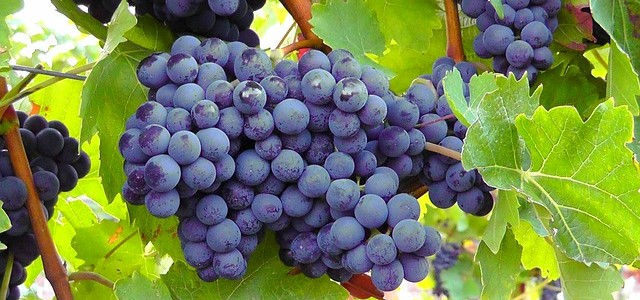 @blue-grapes-77376_640