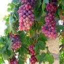 @grapes-101354_640