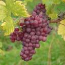 @grape-4203_640