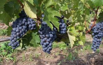 @grapes-2488_640