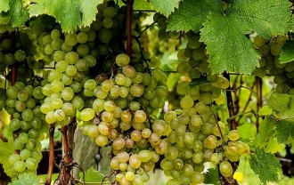 @viognier-grapes-188185_640