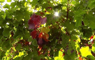 @wine-leaf-77391_640